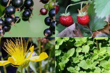 Imunitet se može osnažiti tokom cijele godine sa odabranim čajevima