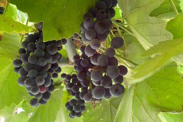 Kalemljenje vinove loze